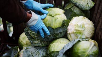 Photo of Количество запросов Туркестанских фермеров выросло:  инспекторы МСХ ежедневно выдают 100-160 сертификатов на капусту