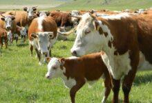 Photo of Всемирный банк выдаст кредит в размере 500 миллионов долларов на развитие животноводства в РК