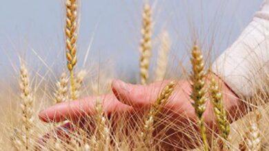 Photo of Минсельхоз озвучил закупочные цены на пшеницу