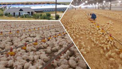 Photo of Ежедневно в Казахстане производится свыше 800 тонн мяса птицы
